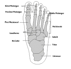 the foot structure   footmech podiatryfoot skeleton diagram
