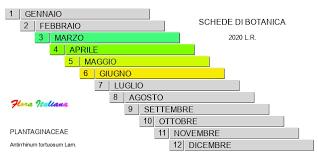 Antirrhinum tortuosum [Bocca di leone cespugliosa] - Flora Italiana