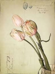 vintage <b>tulips</b> - why haven't I looked into botanical drawings more ...