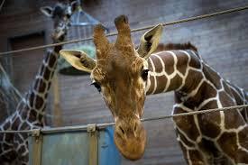 Danish zoo kills <b>giraffe</b> and feeds body to lions (graphic content ...