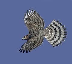 Image result for cooper's hawk