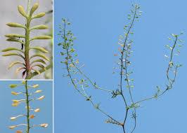 Hornungia petraea (L.) Rchb. subsp. petraea - Sistema informativo ...