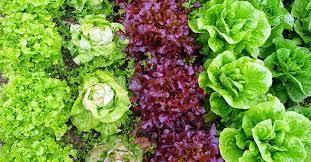 Как сеять <b>салат</b> - 3 проверенных способа для разных ситуаций ...