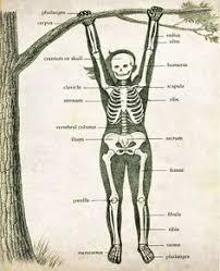 Image result for musculoskeletal system vintage