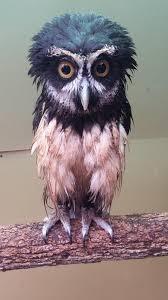 <b>Estrella</b> - Spectacled Owl | Beautiful birds, <b>Funny</b> birds, Beautiful owl
