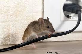 крыса картинки, Фотографии и изображения - 123RF