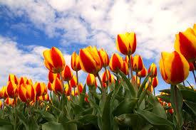 Exportaciones de flores de corte cayeron 30% en siete meses
