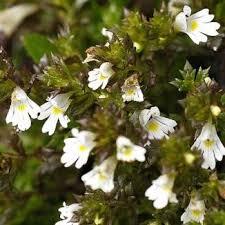 Wildflower Eyebright, Irish Irish Wild Flora Wildflowers of Ireland