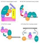 f-box proteins