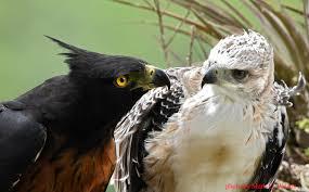 Image result for pic of harpy eagle backbone