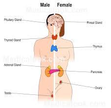 diagram for endocrine system   human anatomy diagram    diagram for endocrine system endocrine system diagram   humananatomybody