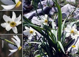 Narcissus poëticus L. - Sistema informativo sulla flora vascolare dei ...