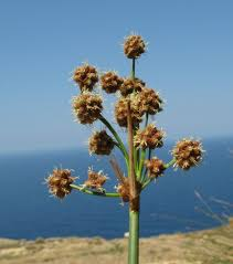 Scirpus holoschoenus (Round-headed Clubrush) : MaltaWildPlants ...