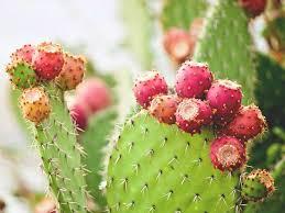 <b>Nopal</b> Cactus: Benefits, Uses, and More