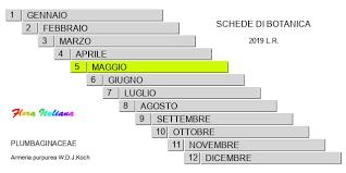Armeria purpurea [Spillone porporino] - Flora Italiana