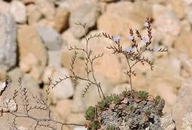 Limonium mazarae