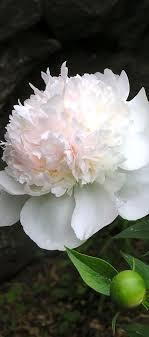 les pivoines odorantes   Idées de <b>jardin</b> fleur, Planter des fleurs ...