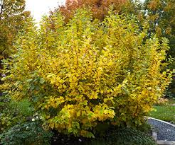 Image result for Witch Hazel