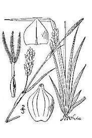 Plants Profile for Carex panicea (grass-like sedge)