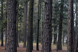 Image result for pine trees