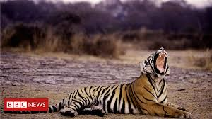 India alarm over rising <b>tiger</b> deaths - BBC News