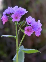Suffolk Lungwort, Pulmonaria obscura - Flowers - NatureGate
