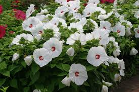 Image result for White Hibiscus