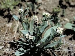 Heliotropium curassavicum (Salt heliotrope) | NPIN
