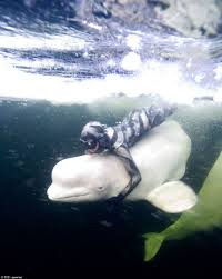 17 best images about beluga whales swim service 17 best images about beluga whales swim service dogs and beluga whale