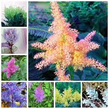 <b>Big Promotion</b>! <b>100 Pcs</b> Mix Astilbe Chinensis Pumila Flowers ...