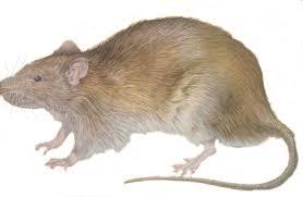 """Résultat de recherche d'images pour """"rats"""""""