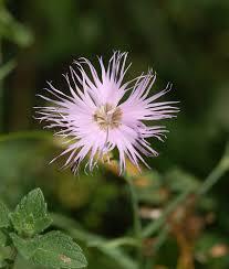 Sternberg's Pink (Dianthus sternbergii) · iNaturalist.org