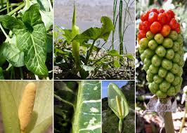 Arum italicum Mill. subsp. italicum - Sistema informativo sulla flora ...