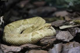 Bothrops insularis
