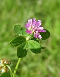 Trifolium resupinatum Calflora