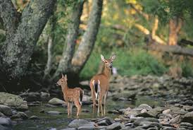 Photograph A deer and her fawn stand in a forest  Forests provide habitats for