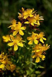 Hypericum perforatum - Michigan Flora