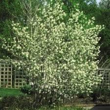 <b>Black</b> Chokeberry Shrub, <b>2 Gallon</b> Potted <b>Plant</b>, Aronia Melanocarpa ...