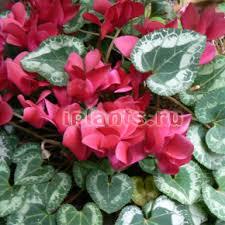 <b>Цикламен</b> Cyclamen - виды, уход после цветения, пересадка и ...