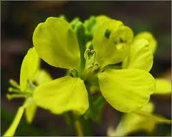 Brassica nigra Calflora