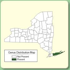 Santolina - Genus Page - NYFA: New York Flora Atlas - NYFA: New ...