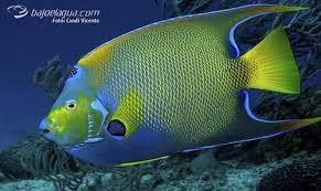 Resultado de imagen para pez caribe