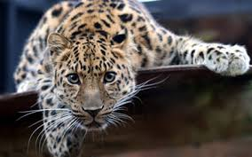 Discover Vladivostok: The Land of the <b>Leopard</b>