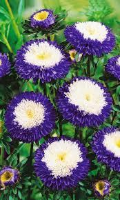 <b>Астра ПРЕВОСХОДНЫЙ</b> РАКЛИ. Цветы однолетние. <b>Семена</b> ...