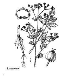 Sp. Sison amomum - florae.it