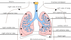 lung anatomy   enchantedlearning comlungs