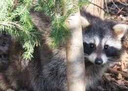 <b>Raccoon</b> - NYS Dept. of Environmental Conservation