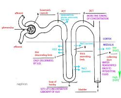 best images of nephron diagram answer sheet   nephron structure    nephron anatomy diagram