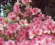 Styracaceae | plant family | Britannica.com