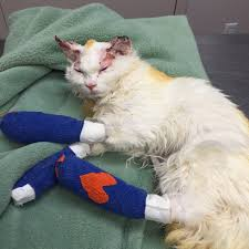 cat who suffered burns finds home fellow survivor dumb friends league